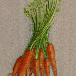 Carrots by Cristal Baldwin. Pencil showing Food/Objects.